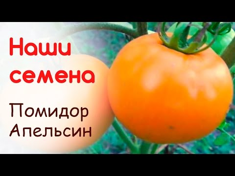 Сорт помидоров Апельсин, свои семена