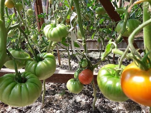 Крупноплодные томаты,что посажу снова.25 июля.