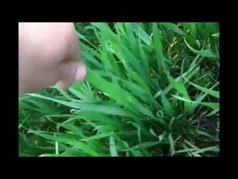 Озимая пшеница, Ермак.