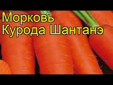 Морковь Курода Шантанэ. Краткий обзор, описание характеристик, где купить семена daucus carota