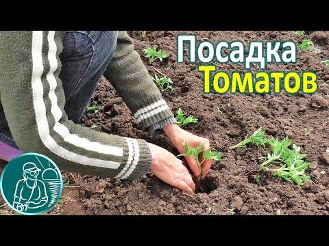 🍅 Высадка рассады томатов в открытый грунт