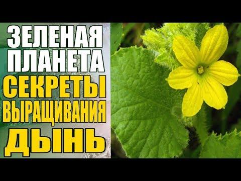 Секреты выращивания дынь / Обработка от болезней подкормки полив
