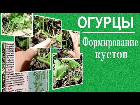 Выращивание огурцов в открытом грунте.Как формировать огурцы.