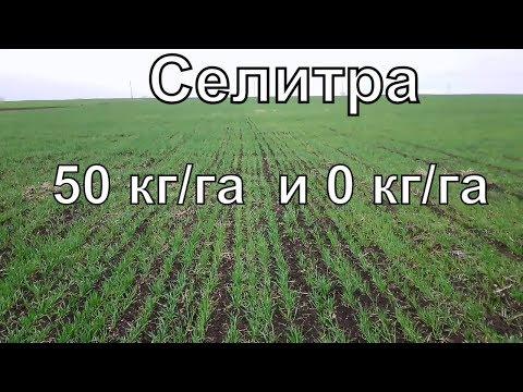 """Пшеница """"С"""" и """"Без"""" Селитры."""