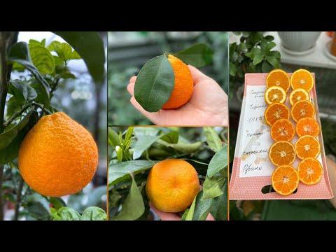 Сладкие цитрусовые плоды, не только апельсин и мандарин 🍊