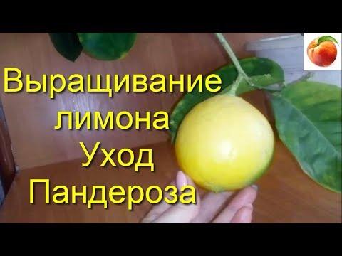 Выращивание лимона Уход Пандероза Комнатный лимон Сорт Limon Листья Цитрусы