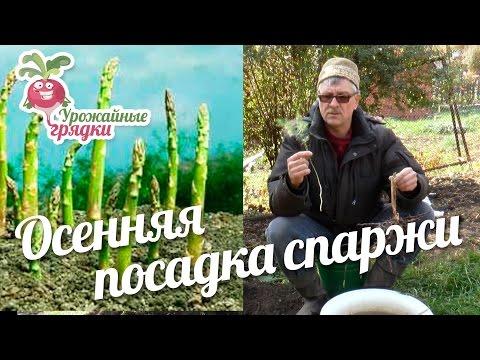 Осенняя посадка спаржи #urozhainye_gryadki