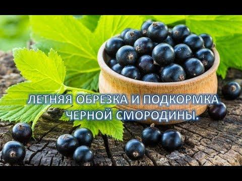 Летняя обрезка и подкормка черной смородины.