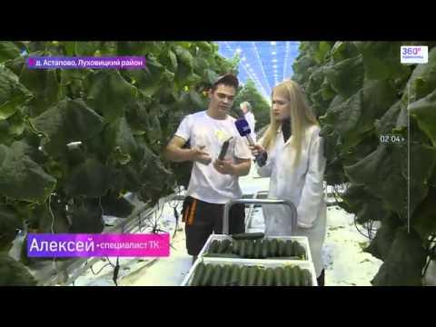 Как выращивают знаменитые луховицкие огурцы Телеканал 360