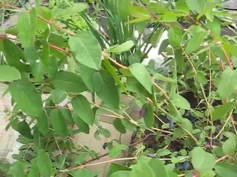 жимолость сибирячка