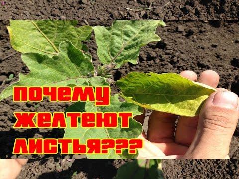 Почему желтеют листья на баклажанах / Выращивание баклажан / Когда делать подкормки