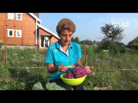 Как вырастить цветную капусту Сиреневая цветная капуста