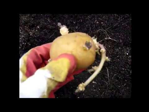 Хитрый способ Выращивания картофеля. В ТЕПЛОЙ ГРЯДКЕ по Лядову!Сорт КОЛОМБО.