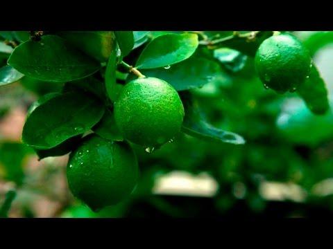 Дачники 16 11 16 2 я часть Лимоны, лаймы, мандарины, урожай на подоконнике
