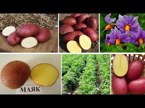 Картофель МАЯК: высокоурожайная новинка, неприхотлив, нематодоустойчив, очень лежкий.