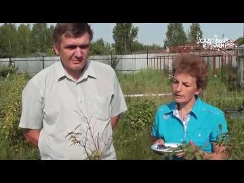 """Как выращивать жимолость Вредители жимолости. Сайт """"Садовый мир"""""""
