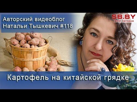 Китайский метод выращивания картофеля - 24 кг с клубня