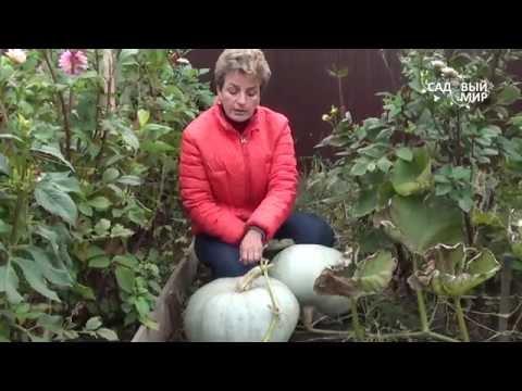 """Как выращивать тыкву. Сайт """"Садовый мир"""""""