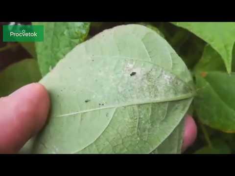 Паутинный клещ !!! Обнаружим и избавимся! Как и чем обрабатывать сад и огород от паутинного клеща?