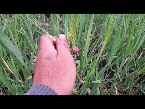 Опыты: озимый ячмень с удобрениями и без Winter barley with fertilizers and without