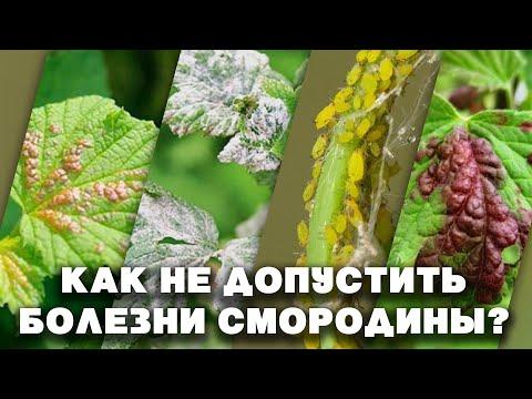 Защита смородины от болезней и вредителей! Не пропусти это время! Опрыскиваем кусты смородины!