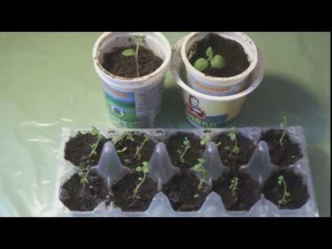 картофель от семечка до стола часть 1 сорт Лада и Фермер
