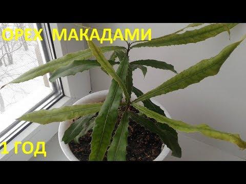 Орех Макадами 1й год жизни