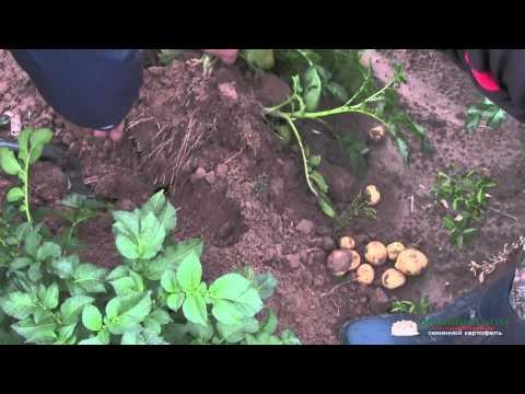 Сорт картофеля Ривьера Голландия. День 60-тый. Часть 1