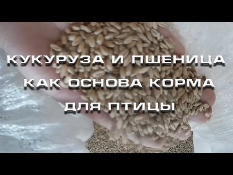 Кукуруза и пшеница как основа корма для птицы