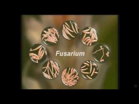 Фузариоз озимой пшеницы