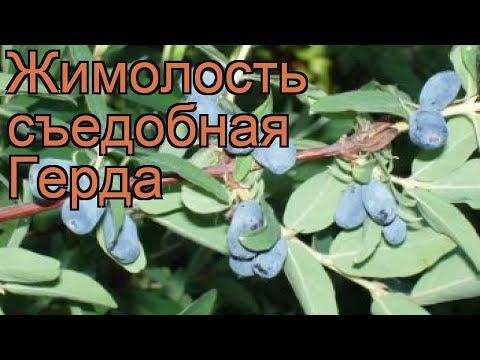 Жимолость съедобная Герда (lonicera edulis gerda) 🌿 Герда обзор: как сажать, саженцы жимолости Герда
