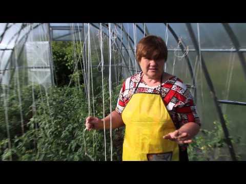Болезни помидоров. Фитофтора на помидорах. Как бороться с фитофторой.