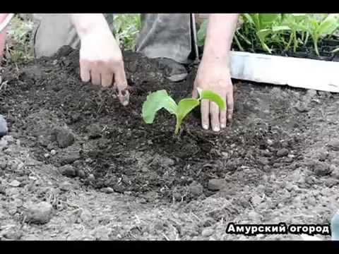 ТЫКВА - посадка тыквы рассадой в открытый грунт (Сибирь, Урал, Дальний Восток)