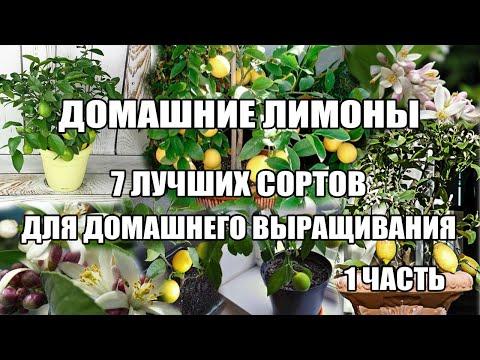 Топ Домашний лимон.7 лучших сортов лимонов в домашних условиях.Часть1.