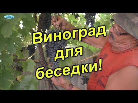 Отличные сорта неукрывного винограда для беседки!