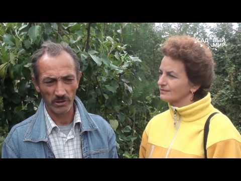 """Как выращивать грушу в Средней полосе. Советы агронома. Сайт """"Садовый мир"""""""