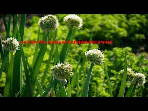 Лук-батун: особенности посадки и выращивания