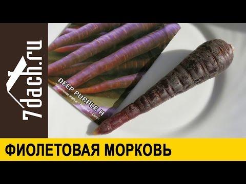 Знакомьтесь: фиолетовая морковь - 7 дач