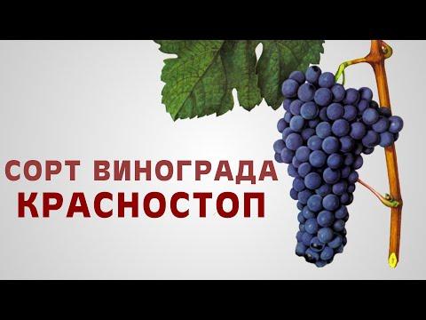 Сорт винограда Красностоп.
