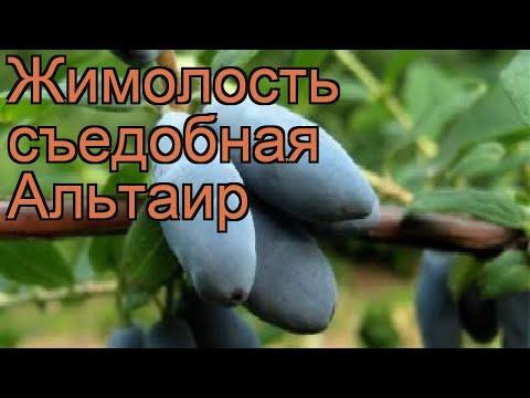 Жимолость съедобная Альтаир (lonicera edulis alaska) 🌿 обзор: как сажать, саженцы жимолости Альтаир