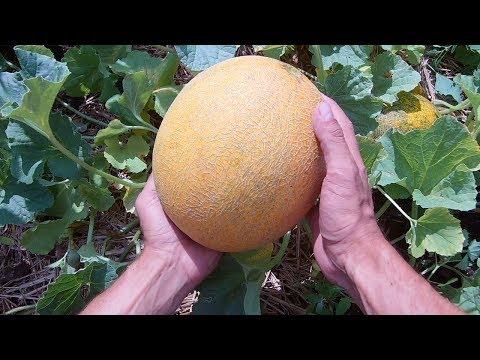 Тонкости выращивания дынь / Как вырастить дыню от семечки до сбора урожая