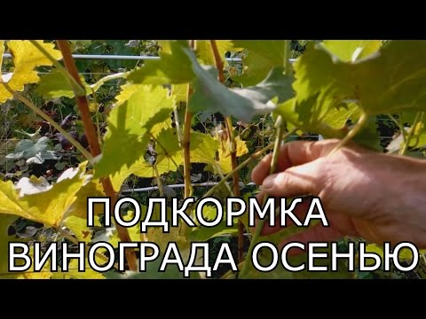 Подкормка винограда осенью.Обзор виноградника.Виноградник осенью. Уход за виноградом осенью.