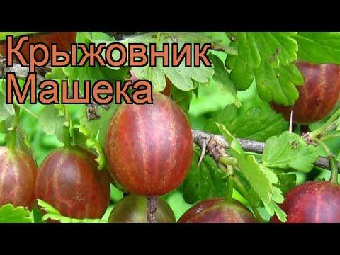 Крыжовник обыкновенная Машека (masheka) 🌿 обзор: как сажать, саженцы крыжовника Машека