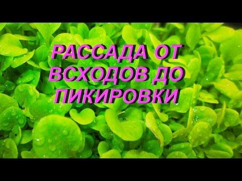 ДНЕВНИК ТАБАКОВОДА № 62 ( От всходов до пикировки 16.03. ) ТАБАК