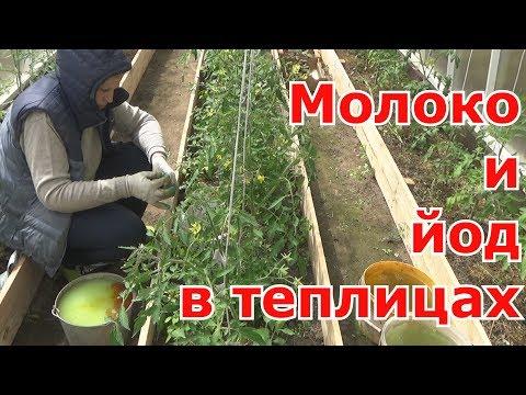 Обработка томатов, перцев, баклажанов МОЛОКОМ с ЙОДОМ в теплицах. Средство профилактики от фитофторы