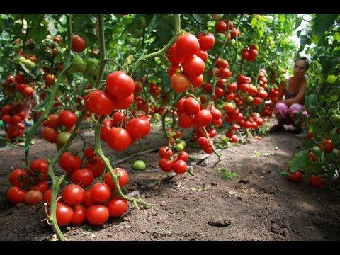 Подвязка высокорослых помидор: лучший метод