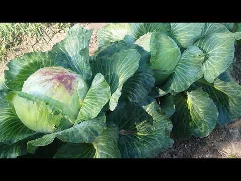 """Рассадный и безрассадный способы выращивания капусты. Сорт """"Вьюга"""" и гибрид """"Валентина""""."""