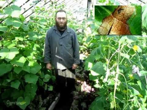 Болезни и вредители огурцов и методы борьбы с ними