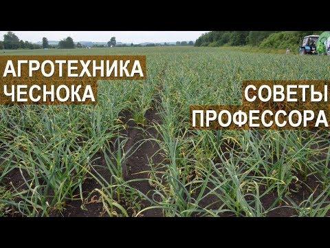 Советы по агротехнике чеснока. Сузан В. Г. Доктор с.-х наук, профессор. КФХ Игоря Дмитриева.