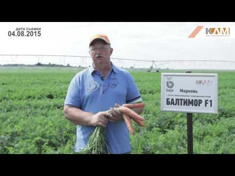 Морковь Балтимор F1. Характеристики гибрида